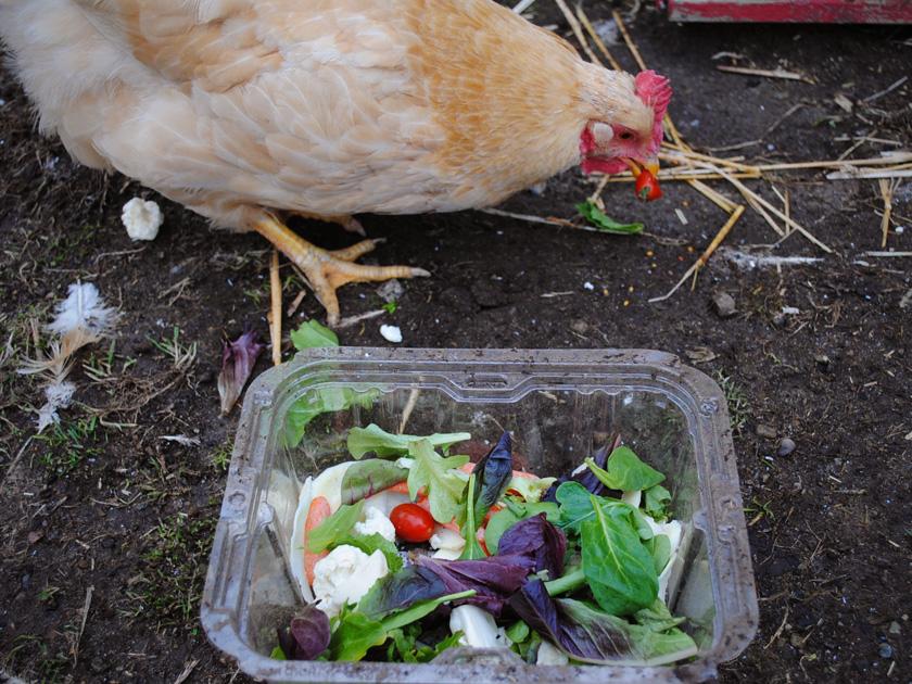 Chicken Eating Food Scraps