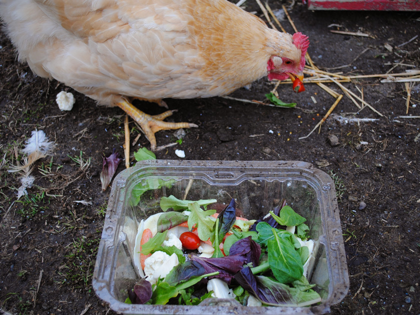 Chicken Eating Food Scraps