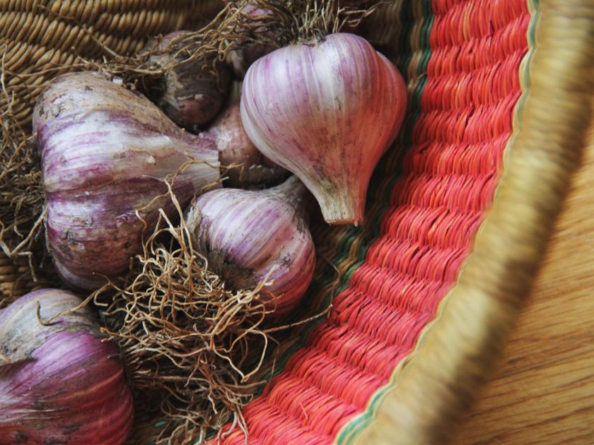 Picked garlic in basket