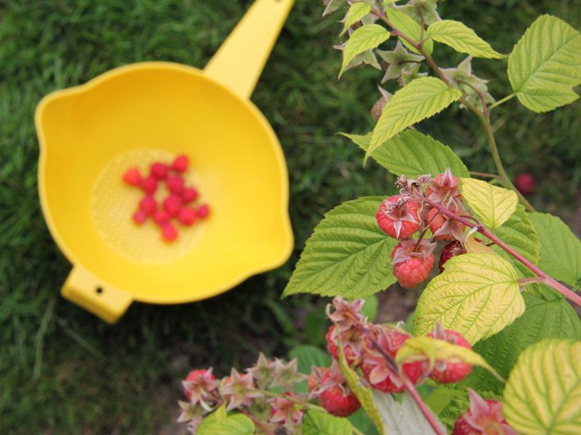 Picking rasberries