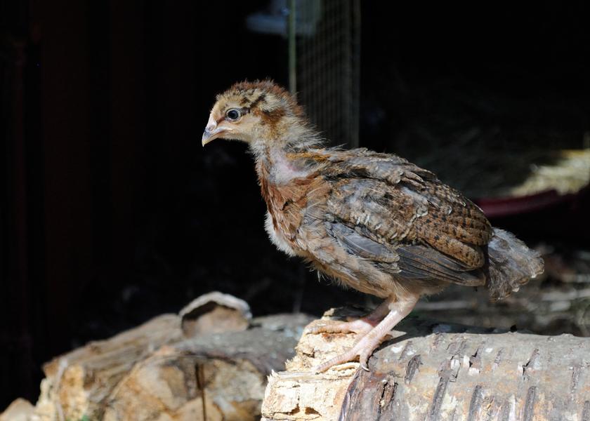 baby-chicken