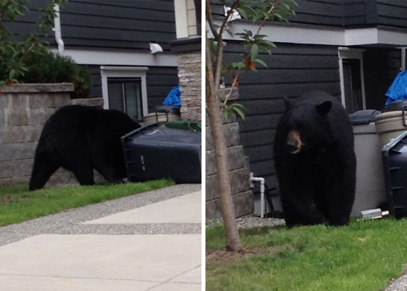Bear breaking into garbage
